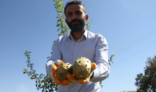 Bölgede ilki başardı, tropik Afrika meyvesi olan Kivano'yu yetiştirdi, bir kökte 50 adet ürün elde etti