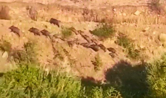 Elazığ'da domuz sürüsünün kaçış anı görüntülendi