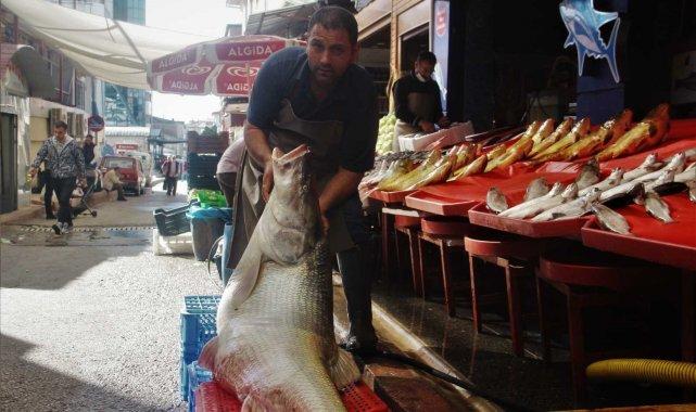 Elazığ'da sezonun ilk dev balığı yakalandı